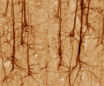 pyramidal neurons in cerebral cortex