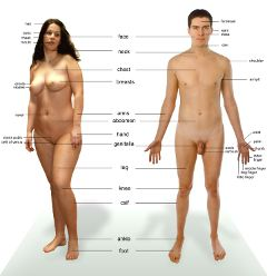 human anatomy man woman